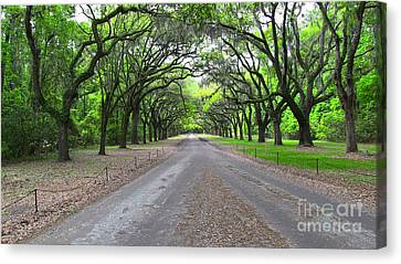 Wormsloe Drive Canvas Print by D Wallace