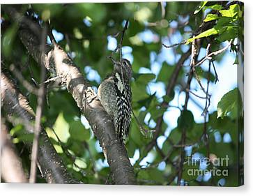 Worn Out Woodpecker Canvas Print