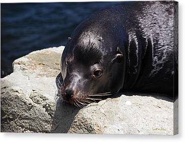 Wounded Sea Lion Resting Canvas Print