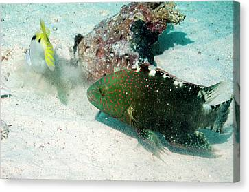 Wrasse Following A Goatfish Canvas Print by Georgette Douwma