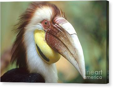 Wreathed Hornbill Canvas Print by Art Wolfe