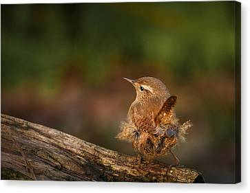Munroe Canvas Print - Wren Having A Marilyn Munroe Moment by Izzy Standbridge