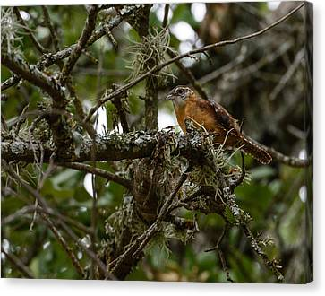 Wren Canvas Print by John Johnson