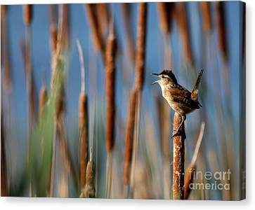 Wren Singing Canvas Print