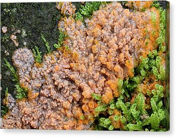 Wrinkled Crust Fungi Canvas Print