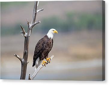 Wyoming, Sublette County, Bald Eagle Canvas Print by Elizabeth Boehm