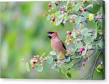 Wyoming, Sublette County, Cedar Waxwing Canvas Print by Elizabeth Boehm
