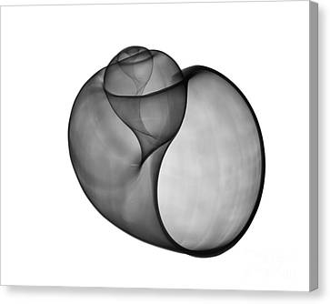 X-rays Of Canvas Print - X-ray Of Florida Apple Snail by Bert Myers