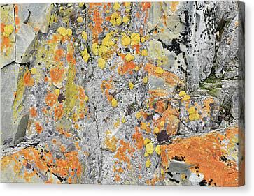 Xanthoria Lichen On A Rock Canvas Print by Dr P. Marazzi
