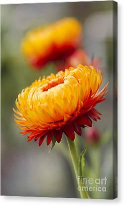 Xerochrysum Bracteatum - Golden Everlasting - Strawflower - Asteraceae - Hawaii Canvas Print by Sharon Mau