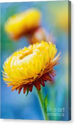 Xerochrysum Bracteatum - Golden Everlasting - Strawflower - Asteraceae  Kula Maui Hawaii  Canvas Print by Sharon Mau