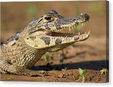 Yacare Caiman Caiman Crocodilus Yacare Canvas Print