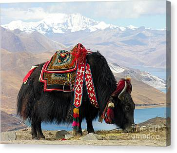 To Dominate Canvas Print - Yak Near Yamdrok Lake Tibet by Paul Fearn