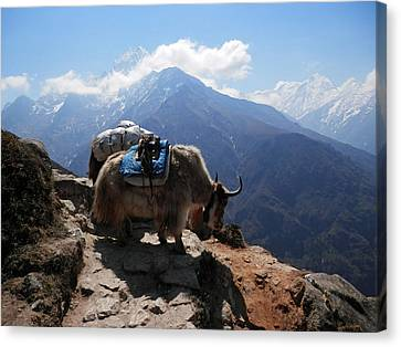 Yaks 1a Canvas Print by Pema Hou