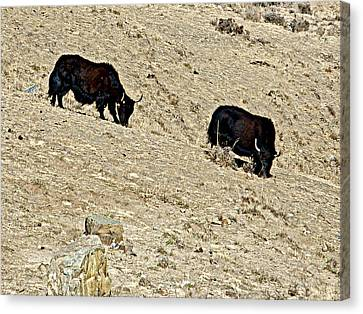 Yaks In Himalayas Along Friendship Highway-tibet   Canvas Print by Ruth Hager