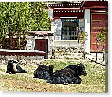 Yaks On Grounds Of Sera Monastery In Lhasa-tibet  Canvas Print by Ruth Hager