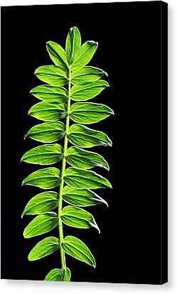 Yarrow (acer Japonicum) Leaves Canvas Print by Bildagentur-online/mcphoto-schulz
