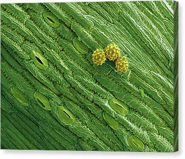 Yarrow Pollen And Stomata Canvas Print by Karl Gaff
