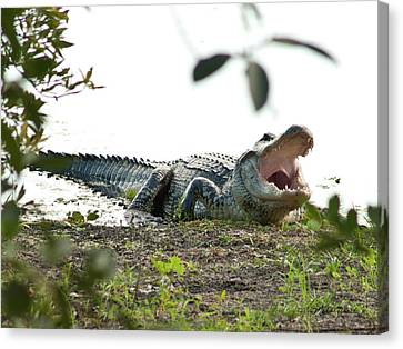Yawning Gator At Green Cay Boynton Beach Florida Canvas Print