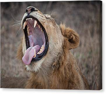 Yawning Lion Canvas Print by Craig Brown