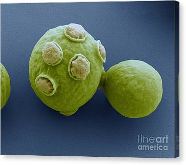 Yeast Cells Sem Canvas Print by Eye of Science