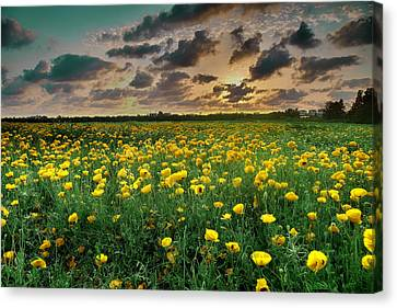 Canvas Print featuring the photograph Yello Poppies by Meir Ezrachi