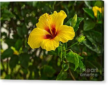 Yellow - Beautiful Hibiscus Flowers In Bloom On The Island Of Maui. Canvas Print by Jamie Pham