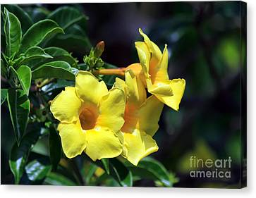 Canvas Print featuring the photograph Yellow Allamanda by Teresa Zieba