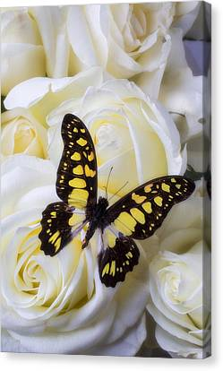 Yellow And Black Butterfly Canvas Print by Garry Gay