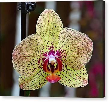 Yellow And Maroon Orchid Canvas Print