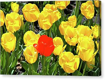 Yellow And One Red Tulip Canvas Print by Ed  Riche