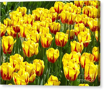 Yellow And Red Tulips Canvas Print by Sharon Talson