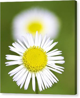 Yellow And White Daisy Canvas Print