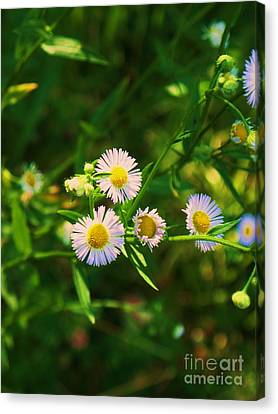 Yellow And White Dasies Canvas Print by Eric  Schiabor
