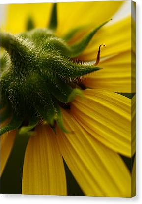 Yellow Backside Canvas Print by Alexandra  Rampolla
