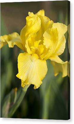 Yellow Beard Canvas Print by Christopher McPhail