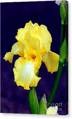 Yellow Bearded Iris Canvas Print by Kathy  White