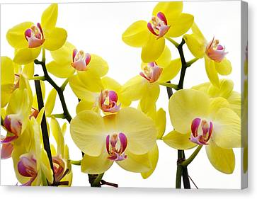 Yellow Beauties Canvas Print