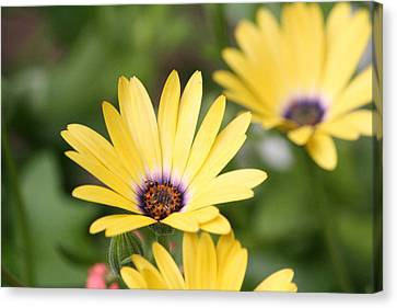 Yellow Beauty Canvas Print by Sue Chisholm