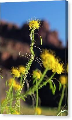 Yellow Bee Plant (cleome Lutea) Canvas Print