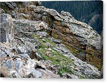 Yellow Bellied Marmot In The Rockies Canvas Print by Cecelia Helwig
