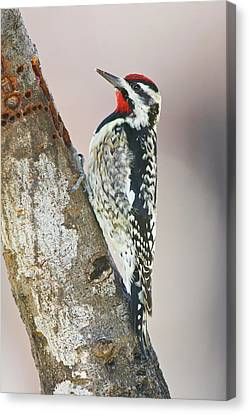 Yellow-bellied Sapsucker (sphyrapicus Canvas Print by Larry Ditto