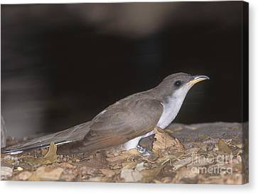 Cuckoo Canvas Print - Yellow-billed Cuckoo by Gregory G. Dimijian, M.D.