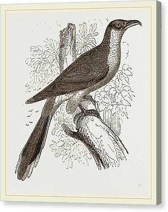 Yellow-billed Cuckoo Canvas Print by Litz Collection