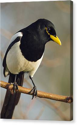 Yellow-billed Magpie Canvas Print by Doug Herr