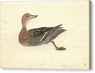 Yellow-billed Pintail Canvas Print