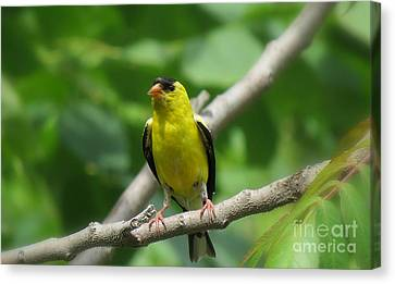 Yellow Bird Canvas Print by France Laliberte
