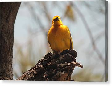 Yellow Bird In Trees Canvas Print