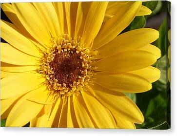 Yellow Burst Of Flower Canvas Print by Brian Jones