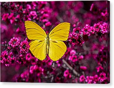 Yellow Butterfly Canvas Print by Garry Gay